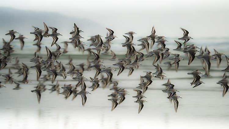 Conservation Media sanderlings