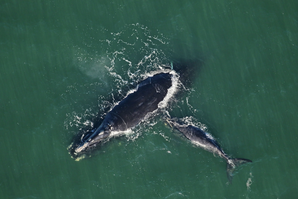 noaa-right-whales