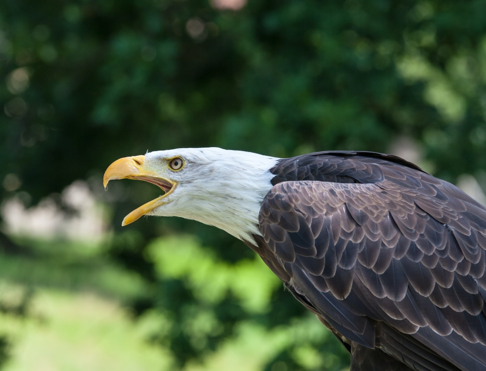 bald-eagle-takes-down-drone