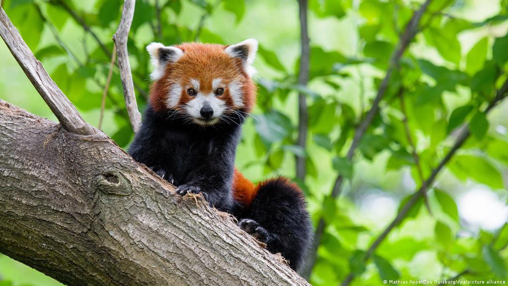 red-panda-drone