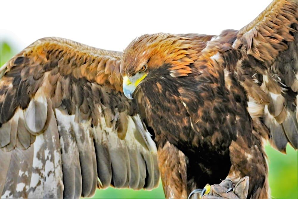 golden-eagles-drones